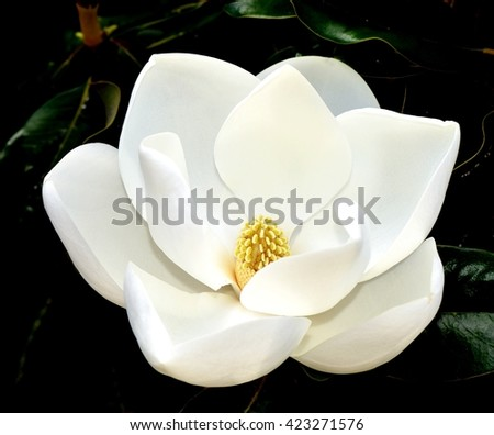 Close Up Image Of A White Southern Magnolia Blossom (Magnolia grandiflora), the Louisiana State Flower