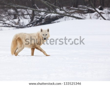 Close up image of an Arctic wolf walking in the snow, looking at the camera