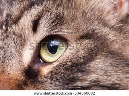 Close up image of an eye of a cat from maine coon breed