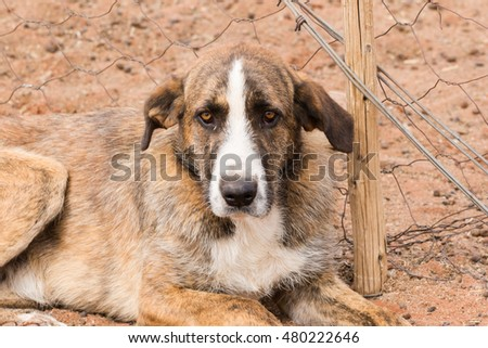Close up image of an old dog, guarding over the flock of sheep.