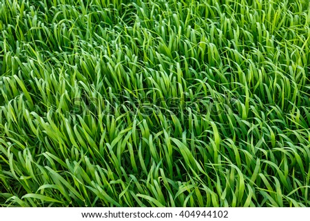 Close-up image of beautiful green grass texture. Picturesque and gorgeous scene. Beauty world.