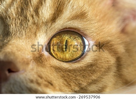 Close up image of cat's eye. Red orange fur cat head eye macro narrow black pupil looking into camera - stock photo