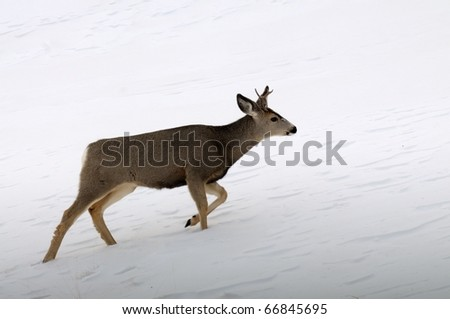 Close up image of forked horn deer in rut