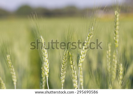 close up image of  green barley corns growing in a field - stock photo