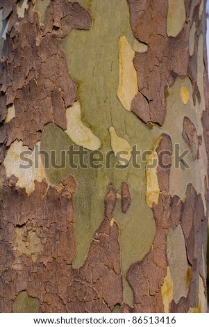 Close up image of mottled sycamore tree bark for background - stock photo