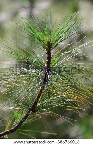 Close up image of pine tree branch - stock photo
