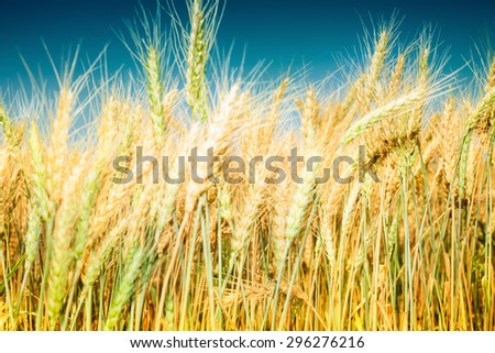Close up image of ripe wheat field against blue sky. Complementary golden and blue colors are dominant. Image is cross processed, and has Instagram look