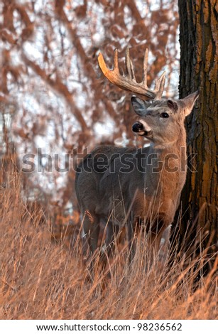Close up image of trophy whitetail buck in morning sunlight.  Shedding of one antler. - stock photo