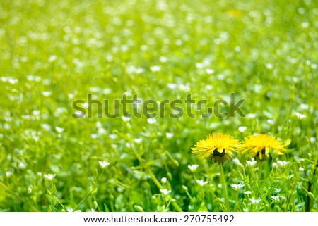 Close-up Image of Two Dandelion Flowers on the Spring Meadow with Green Grass and White Flowers - stock photo