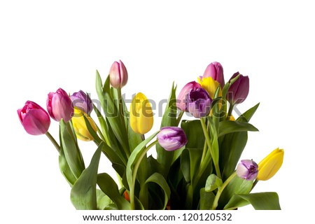 Close-up image of yellow and pink tulip against white background. - stock photo