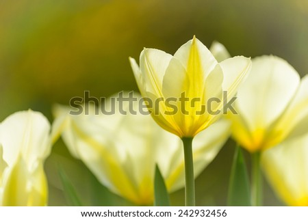 Close up image of yellow tulip in spring garden. - stock photo