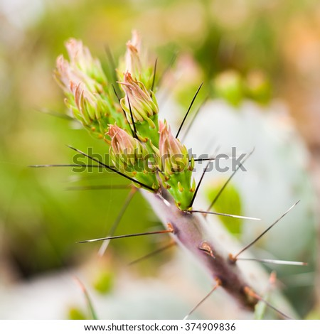 Close up image of young green bud sprouts of an blooming spiky opuntia cactus lined up next to each other with blurry bright backround - stock photo