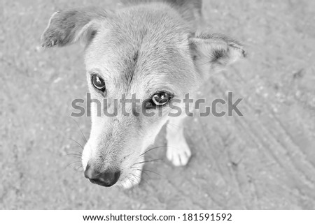 Close up in the eyes ,Street Dogs pleaded with poor eyesight - stock photo