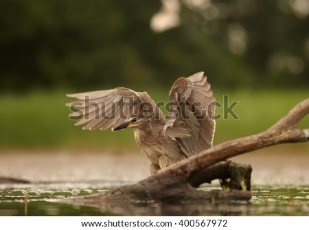 Close up, juvenile water bird Black-crowned Night Heron, Nycticorax nycticorax with outstretched wings in wetland  against blurred background. Photographed from water level. - stock photo