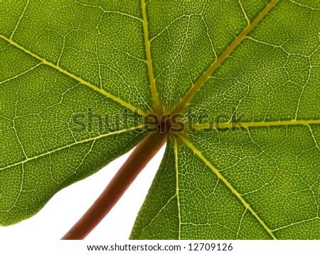 Close up leaf of maple on white background - stock photo