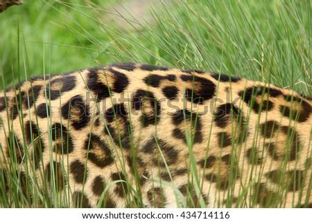 Close up LEOPARD flank. Leopard spots. Shot of Amur leopard, body only. - stock photo