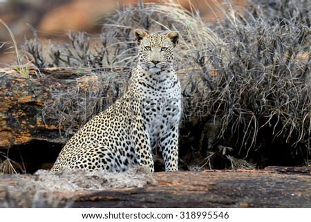 Close-up leopard in National park of Kenya, Africa - stock photo