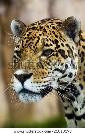 Close up Leopard Portrait - stock photo