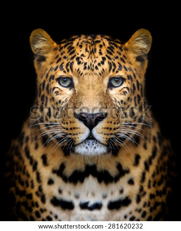Close-up leopard portrait on dark background - stock photo