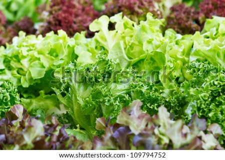 close up lettuce in rows in the vegetable garden - stock photo