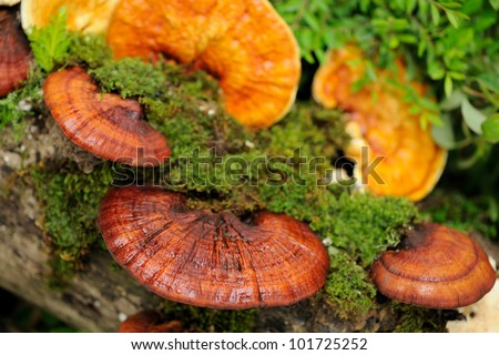 Close up Lingzhi mushrooms. - stock photo