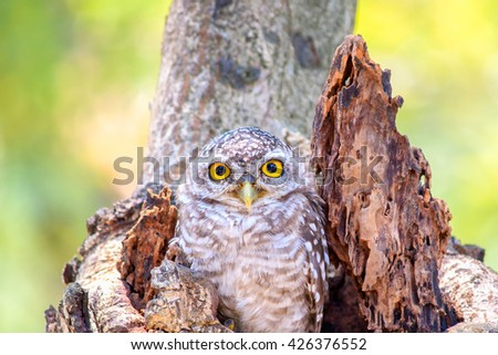 Close up little Owls in a hollow tree - stock photo