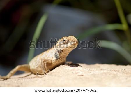 close up lizard - stock photo