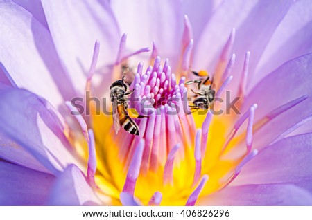 Close up Lotus flower with Bee. - stock photo