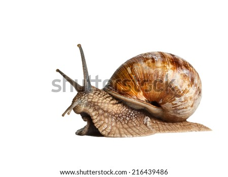 Close-up low angle view of Roman snail (Helix pomatia) isolated on white background  - stock photo