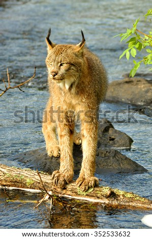 Close up Lynx crossing rocks over water. - stock photo