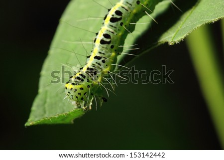 Close up Machaon caterpillar during eating leaf in the nature