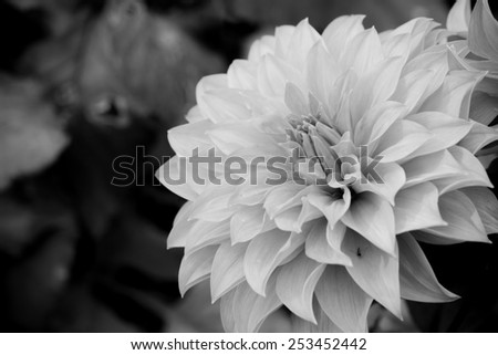 Close up macro beautiful black and white flower  - stock photo