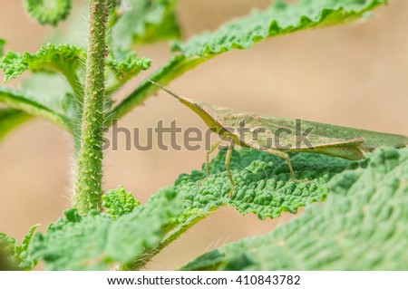 Close up, macro green with yellow herbal grasshopper Orthopterous Tettigoniidae on green leaf in daylight - stock photo