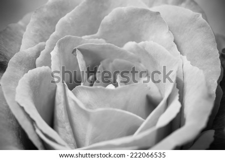 Close Up Macro Grey Rose Flower