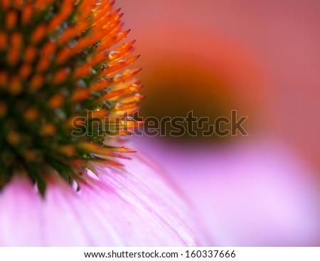 close-up macro of echinacae coneflower - stock photo