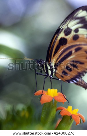 Close-up macro of tropical Monarch butterfly sitting on a flower