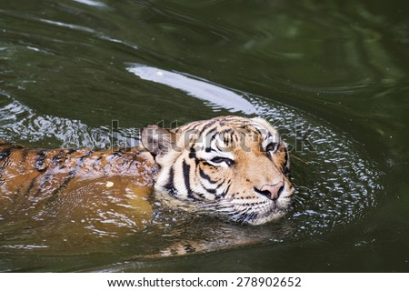 Close up Malayan Tiger swimming in a River - stock photo
