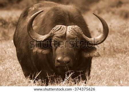 Close up monochrome portrait of cape buffalo head and horn. South Africa