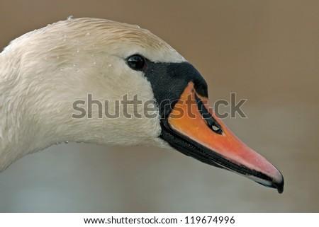 Close-up Mute Swan (Cygnus olor) - stock photo