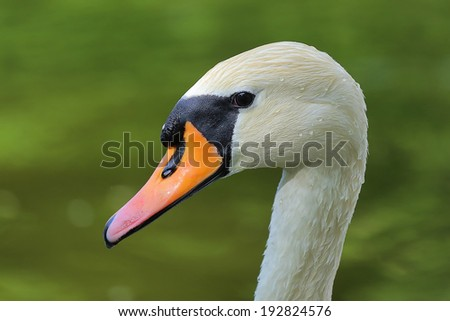 Close-up Mute Swan (Cygnus olor) - stock photo