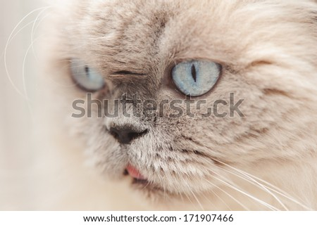 Close up muzzle of Scottish long haired cat with big blue eyes, selective focus
