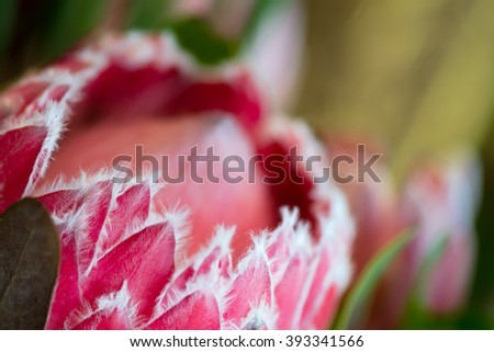 Close-up narrow focus of petals of protea, national flower of South Africa - stock photo