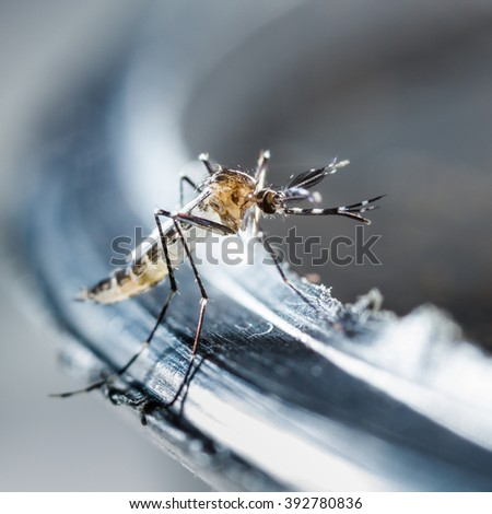 Close up newborn aedes albopictus mosquito, pest animal, contagion - stock photo