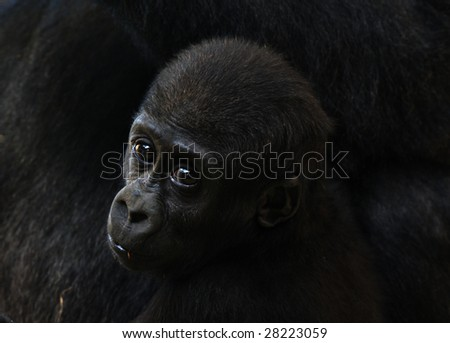 close-up of a a cute baby gorilla - stock photo