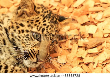 Close up of a African Spotted Leopard