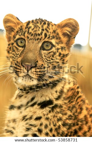 Close up of a African Spotted Leopard Sitting