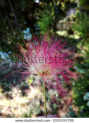 Close albizia julibrissin persian silk tree stock photo image close up of a albizia julibrissin persian silk tree pink silk tree flower mightylinksfo