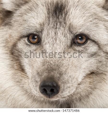 Close-up of a Arctic fox, Vulpes lagopus, also known as the white fox, polar fox or snow fox - stock photo
