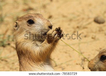 Close up of a baby prairie dog eating - stock photo