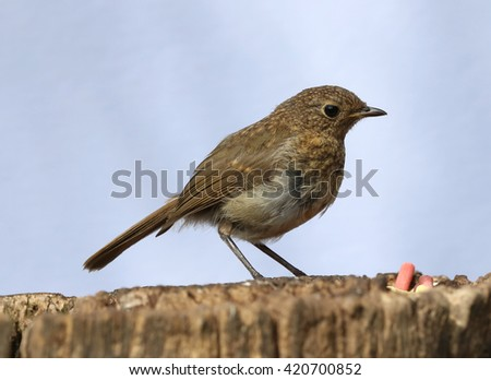 Close up of a baby Robin  - stock photo